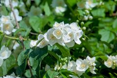 White garden flowers of Jasmine in sunny summer day Stock Images