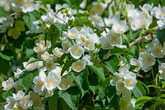 White garden flowers of Jasmine in sunny summer day Royalty Free Stock Photo