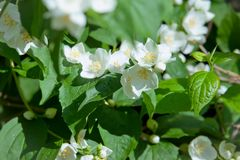 White garden flowers of Jasmine in sunny summer day Stock Photography