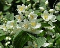 White garden flowers royalty free stock image