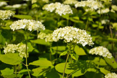 White garden hortensia. Is growing in the garden Stock Photo