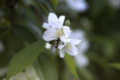 White garden Jasmine with bokeh. White Spring flowers. White Jasmine with green leaves. White garden stock photos