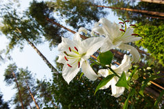 White garden lily on forest background Royalty Free Stock Image
