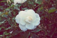 White garden rose Royalty Free Stock Photo