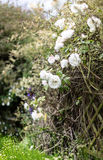 White garden roses Royalty Free Stock Photos
