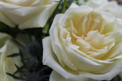 White Garden Roses Macro. Macro of white photo of Garden Roses for a wedding bouquet Royalty Free Stock Photography