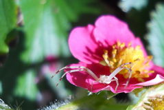 White Garden Spider on Pink Strawberry blossom Stock Photo