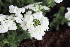 White Garden Verbena. Close up of a white Garden Verbena shot from above.Verbena x hybrida Royalty Free Stock Image