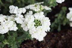 White Garden Verbena Royalty Free Stock Image