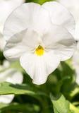White garden viola Royalty Free Stock Photo