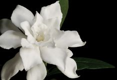 White Gardenia. Gardenia against black background stock photo