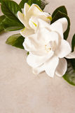 White Gardenia Blossom Royalty Free Stock Photos