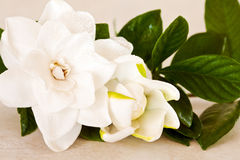 White Gardenia Blossom Stock Photo