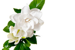 White Gardenia Blossom Isolated Stock Photos