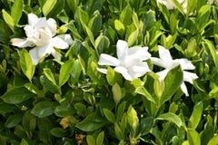 White gardenia bush. With flower blossoms stock photo