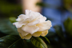 White gardenia in closeup. In garden Royalty Free Stock Images