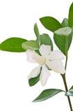 White Gardenia flower or Cape Jasmine (Gardenia jasminoides) Stock Photo