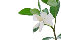 White Gardenia flower or Cape Jasmine (Gardenia jasminoides) Royalty Free Stock Photo
