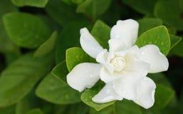 White Gardenia Flower Gardenia jasminoides with rain drops Stock Photos