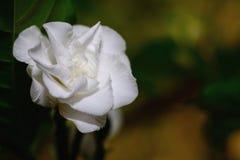 White gardenia flower plants in the coffee family