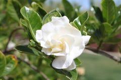 A white gardenia jasminoides plant royalty free stock images