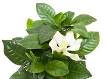 White gardenia plant. Isolated on white stock images