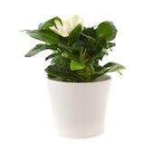 White gardenia plant. Isolated on white stock photos