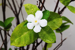 The white gardenia on the tree has one flower in the garden.  Stock Photography