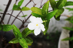 The white gardenia on the tree has one flower in the garden.  Stock Image