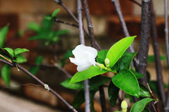 The white gardenia on the tree has one flower in the garden.  Stock Photos