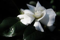 White Gardenia. A white gardenia bush and bloom with twisted petals royalty free stock photos
