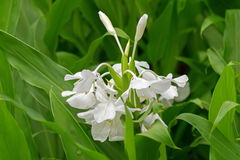White garland-lily, white ginger lily flower Hedychium coronari. Closeup photo of White garland-lily, white ginger lily flower Hedychium coronarium in the garden Stock Images