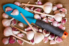White garlic bulbs and cloves Royalty Free Stock Photos