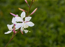 White Gaura flower with green background Stock Images