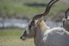 White  gazelle Stock Image