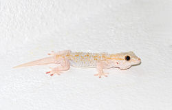 White Gecko Royalty Free Stock Photography