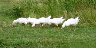 White geese. Geese Stock Photography