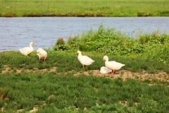 White geese Stock Photo