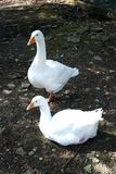 White geese royalty free stock photo