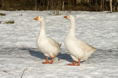 White geese. Stock Photography
