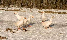 White geese. Royalty Free Stock Photos