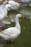 White geese - Anser anser domesticus. In the garden royalty free stock images