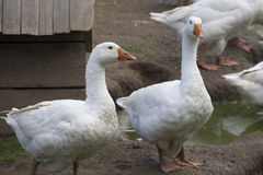White geese - Anser anser domesticus. In the garden royalty free stock photography