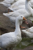 White geese - Anser anser domesticus. In the garden stock images