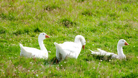 White Geese - country life concept Stock Photos