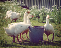 White geese drink water. From a bucket in a rural location Royalty Free Stock Images