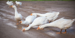White geese drink water from puddles. White geese stretched their necks and drink water from puddles on the road in the village Stock Image