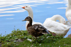 White geese with a duck at a pond. Standing on the bank looking out over the calm water Stock Images