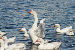 White geese and ducks swim and dive in the pond Royalty Free Stock Photography