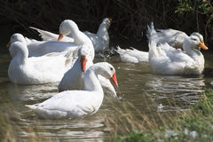 White geese and ducks swimming on blue water in summer. In the village Royalty Free Stock Image